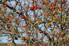 浆果红色 库存照片