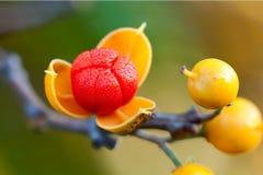 浆果苦甜包括的露水宽首先开张 免版税图库摄影