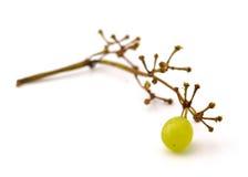 浆果葡萄为时 库存图片