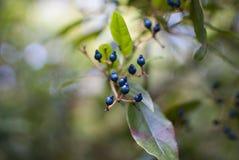浆果蓝色隔离白色 库存图片