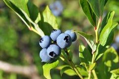 浆果蓝莓灌木 免版税库存图片