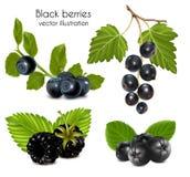 浆果被设置的黑色叶子 库存图片