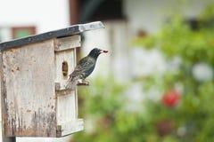 浆果鸟抓住结转刚孵出的雏红色starling 免版税图库摄影