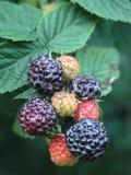 浆果黑莓画笔红色 免版税库存照片