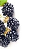 浆果黑莓绿色叶子 免版税库存图片