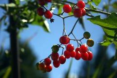 浆果 免版税库存照片