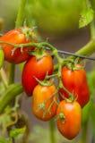 浆糊或李子西红柿在庭院里 免版税库存图片
