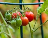浆糊或李子西红柿在庭院里 免版税库存照片