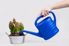 浇灌一朵盆的花 免版税库存图片