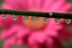 浇灌与大丁草雏菊花反射,宏指令的下落 免版税图库摄影