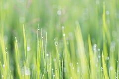 浇灌与被采取的绿色叶子草的闪闪发光,设计的下落为 库存照片