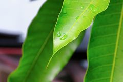 浇灌在一个绿色叶子芒果的下落背景的 免版税库存图片