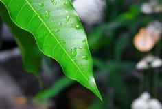 浇灌在一个绿色叶子芒果的下落背景的 图库摄影