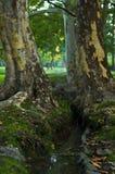 浇灌在两棵大树之间的小河在早晨在Topcider公园 免版税库存图片
