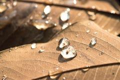 浇灌在干燥叶子的下落在早上和阳光 库存照片