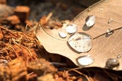 浇灌在干燥叶子的下落在早上和阳光 免版税库存图片
