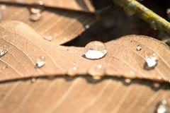浇灌在干燥叶子的下落在早上和阳光 免版税库存照片