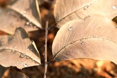 浇灌在干燥叶子的下落在早上和阳光 库存图片