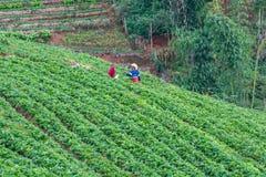 浇灌在庭院草莓的农夫 免版税库存图片