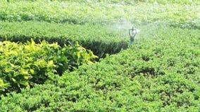 浇灌在庭院,充分的HD里的洒水喷头 股票录像