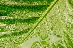 浇灌在瓣的露水在湿绿色叶子 免版税库存图片