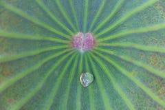 浇灌在绿色莲花叶子,自然异乎寻常的背景的下落 免版税库存照片