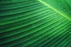 浇灌在绿色香蕉叶子的下落自然背景的 免版税库存图片