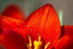 浇灌在郁金香瓣的下落-极端接近的,选择聚焦 库存照片