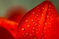 浇灌在郁金香瓣的下落-极端接近的,选择聚焦 免版税图库摄影