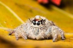 浇灌在顶头跳跃的蜘蛛Hyllus的下落在一片黄色叶子 免版税图库摄影