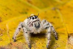 浇灌在顶头跳跃的蜘蛛Hyllus的下落在一片黄色叶子 免版税库存图片