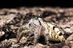 浇灌在顶头跳跃的蜘蛛Hyllus的下落在干燥吠声 免版税库存照片