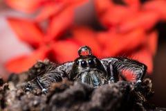 浇灌在顶头黑跳跃的蜘蛛Hyllus的下落 免版税库存照片