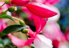 浇灌在紫红色的充满活力的桃红色闭合的花的下落 极端macr 免版税图库摄影