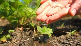 浇灌年轻草莓的农夫手生长在阳光下,慢动作 在农场的增长的有机草莓 股票视频