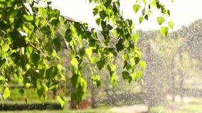 浇灌庭院、草和花特写镜头,在阳光的水下落 影视素材
