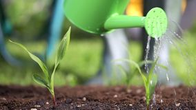 浇灌庭院的植物的花匠 股票录像