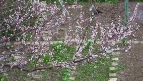 浇灌庭院behinde开花的树的成熟花匠