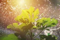 浇灌无花果树室外在晴天 免版税库存图片