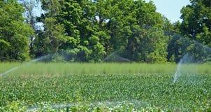 浇灌玉米和芦笋 免版税库存图片