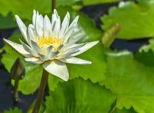 浇灌白百合莲花绽放在水池的花蕾 免版税库存照片