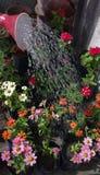 浇灌的五颜六色的花水下落喷壶 库存图片