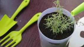 浇灌的幼木 在罐种植的罗斯玛丽分支从一把喷壶被浇灌 股票视频