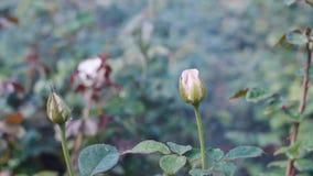 浇灌的玫瑰在庭院里 股票视频