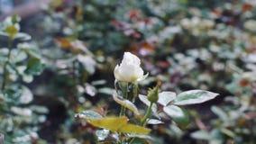浇灌的玫瑰在庭院里 影视素材