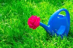 浇灌的花和一朵红色玫瑰的喷壶在它,在硒草 免版税库存图片