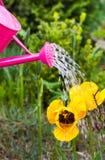 浇灌的花春天庭院喷壶 图库摄影