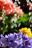 浇灌的花 库存图片