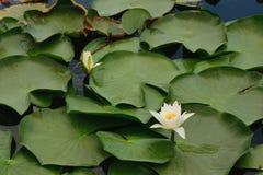 浇灌纯白和黄色花和绿色叶子背景 免版税库存照片