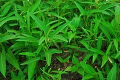 浇灌菠菜或中国人旋花植物一棵半水生菜植物 库存照片
